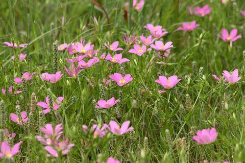 gamta, augalai, gėlės, rožinė & nbsp, gėlės, laukinės vasaros spalvos, rožinė & nbsp, laukinės spalvos, Prairie & nbsp, sabatija, auga, Šalis, laukas, Oklahoma, apsuptas, tarp aukšta & nbsp, žolė, laukinė & nbsp, žolė, prairie sabatijos laukiniai gėlės