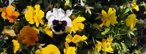 Pansy, namukai, sodas, sodininkystė, gėlė, gėlės, gėlių, violetinė, balta, oranžinė, geltona, pavasaris, geliu lova, gėlė & nbsp, lova, gražūs pansies