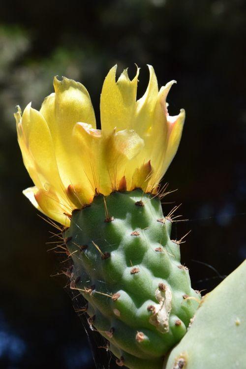 dygliuotas kriaušes,žiedas,žydėti,kaktusas,dygliuotas,paskatinti,kaktusiniai gėlės,augalas,kaktusinė gėlė,Viduržemio jūros,geltona,šviesus,vasara,žydėti dygliuotas kriaušes