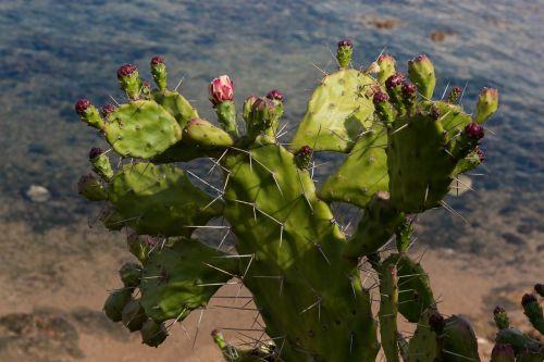dygliuotas kriaušes,augalas,sultingas augalas,kištukas,erškėčių,dygliuotas kriaušių gėlė,dygliuotas,aštrus,žydėti
