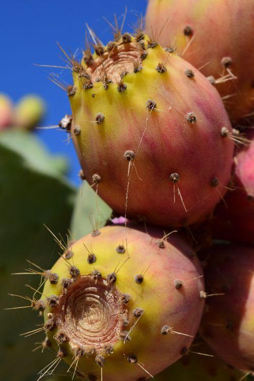 dygliuotas kriaušes,vaisiai,kaktusas,kaktusiniai vaisiai,kaktusas šiltnamius,šerti,dygliuotas,Viduržemio jūros,raudona,vaisiai,ficus indica,Uždaryti