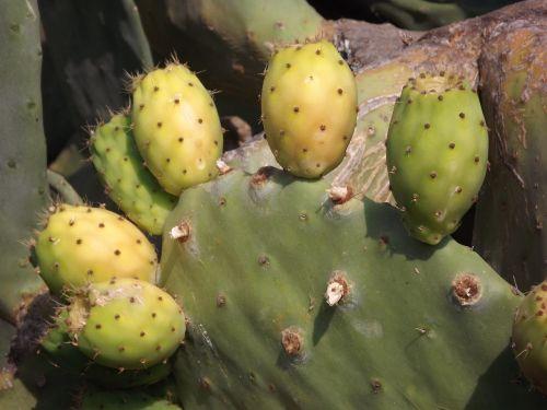 dygliuotas kriaušes,kaktusiniai vaisiai,vaisiai,kaktusas