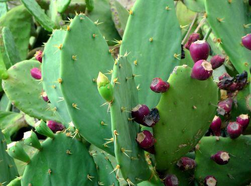 dygliuotas kriaušes,kaktusas,kaktusiniai vaisiai,augalas,vaisiai,žalias,raudona