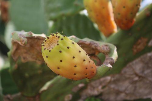 dygliuotas kriaušes,opuntia ficus indica,kaktusas,dygliuotas,Viduržemio jūros,kaktusas šiltnamius,paskatinti,kaktusiniai vaisiai,valgomieji,ficus indica,Uždaryti,kaktusas figas,augalas,vaisiai,kaktusai,kaktusiniai figos,į pietus,vaisiai,gamta,Maljorka