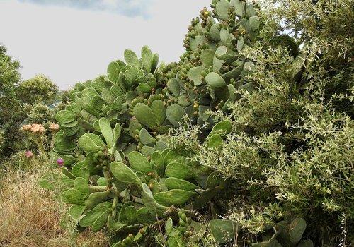dygliuotas kriaušių, augalų, kaktusas, Korsika, Pietų Europa, floros, kraštovaizdis, kaktusas vaisių, kaktusas šiltnamio efektą sukeliančių, paskatinti, pobūdį, Iš arti