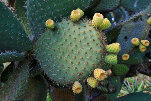 kaktusas, sultingas, dygliuotas krūmas, lapai, storas, dygliuotas kriaušių lapas
