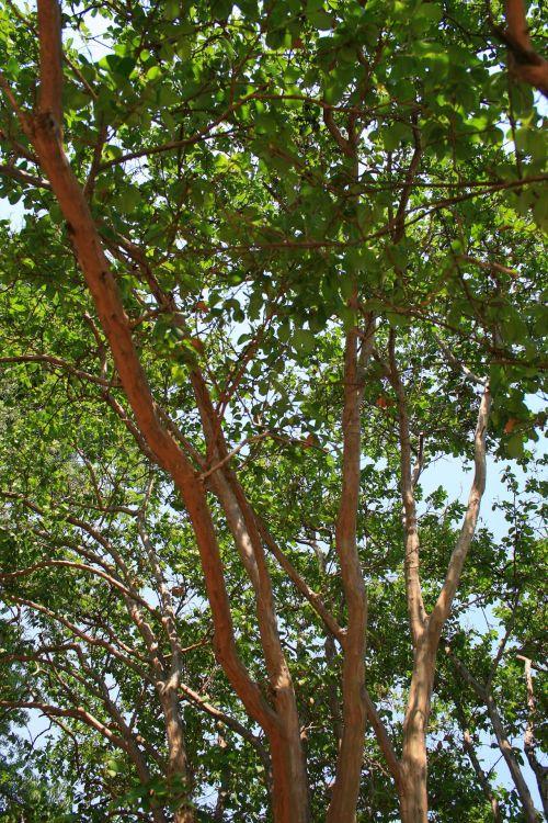 medis, pasididžiavimas & nbsp, indija, Indijos filialų pasididžiavimas