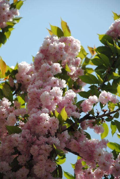 gėlė, pavasaris, energija, rožinis, augalas, gamta, filialas, lapai, pavasaris