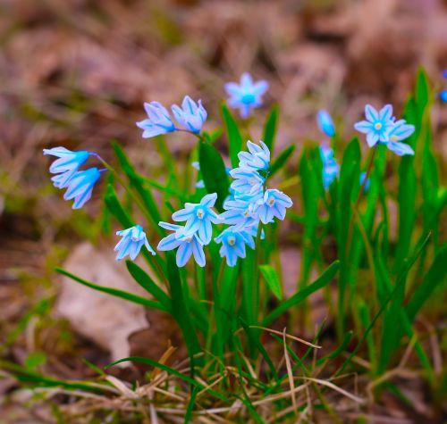 primrosės,pavasaris,gėlė,sodas,Iš arti,pavasario gėlės,mėlyna gėlė,miškas,sodo gėlė,žydėti,gamta,sodo gėlės,sniego danga,grožis,žalias