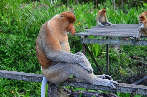beždžionė,proboscis,borneo,ilgai beždžionė,probosci,Labuko įlanka,rezervas,kailis,beždžionė,išskirtinis,neįprastas