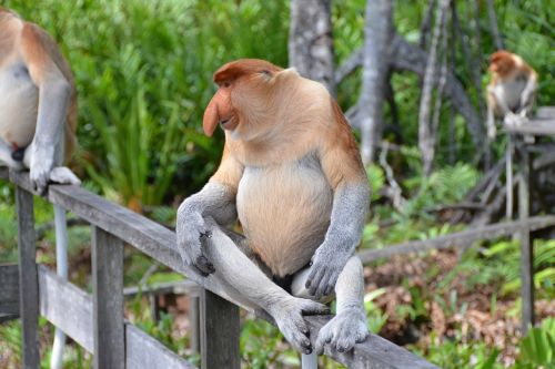 beždžionė,primatas,beždžionė,ilgaplaukis beždžionė,nosis,borneo,laukinė gamta,proboscis