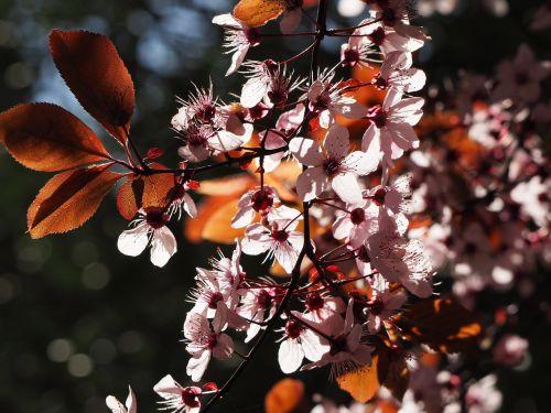 prunus,prunus serrulata,gėlė,vyšnia,japonų vyšnios,vyšnių žiedas,vyšnių japonų,asia rytines vyšnios,rytietiška vyšninė,serrulata cerasus var taishanensis,padus serrulata,japanische blütenkirsche,orientalische kirsche,ostasiatische kirsche,Grannenkirsche,vyšnių kalva,Rytų Azijos vyšnia,cerisier du japon,cerisier des collines,cerisier japonais ą blusas,rytinė cerisier,Sakura,smegijiras em gėlių,cerejeira japão do