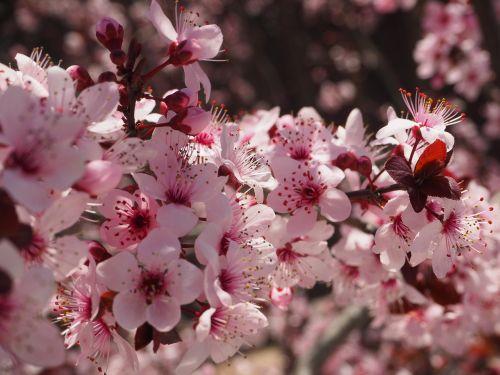 prunus,gėlė,pavasaris,vyšnių kalva,medis,žydėjimas,gamta,rytietiška vyšninė,prunus serrulata,Sakura