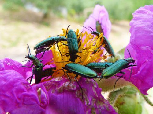 psilothrix viridicoerulea,žalias vabalas,vabzdžiai,klaidas,Coleoptera,stepė