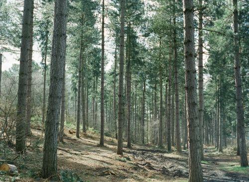 miškas, medis, viduje, gamta, fonas, natūralus, žalias, spygliuočių, mediena, bagažinė, giliai, viduje miške