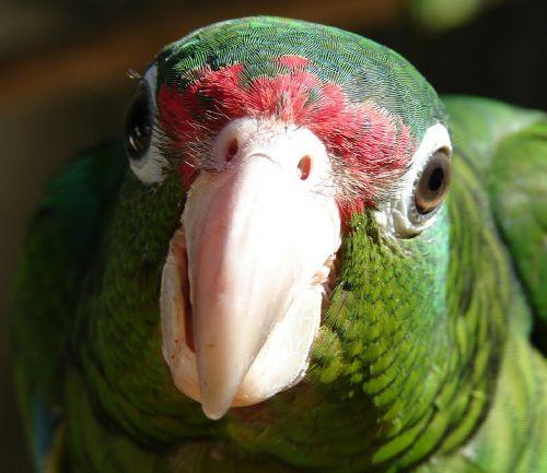 puertoriko paprikas,papūga,paukštis,žalias,snapas,laukinė gamta,atogrąžų,gamta,makro,plunksnos,egzotiškas