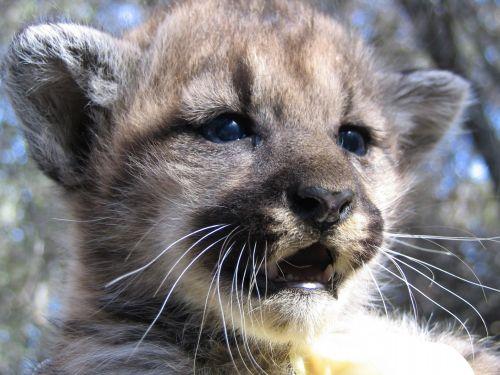kalnas & nbsp, liūtas, Cub, Puma, puma, laukinė gamta, jaunas, kūdikis, fonas, dėmės, gamta, didelis & nbsp, katinas, plėšrūnas, mėsėdis, kačiukas, žiūri, portretas, dykuma, laukiniai, uždaryti & nbsp, viešasis & nbsp, domenas, tapetai, Puma