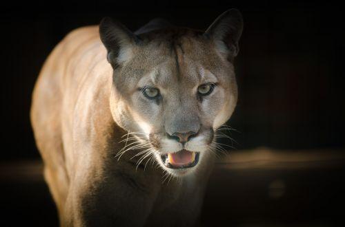 Puma,akys,Uždaryti,aistra,kačių,puma