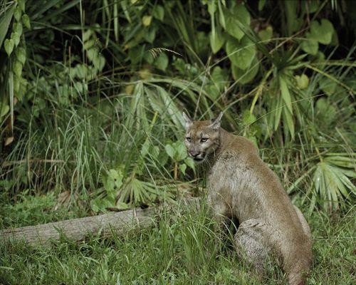 Puma,florida panther,puma,kalnų liūtas,plėšrūnas,laukinė gamta,gamta,laukiniai,žiūrėti,sėdi,kailis,lauke,puma concolor coryi,budrus