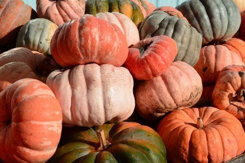 moliūgai,pleistras,oranžinė,Halloween,derlius,kritimas,ruduo,ūkis,padėka,daržovių,Žemdirbystė,skvošas,moliūgo pleistras,Spalio mėn,lauke,sodininkystė