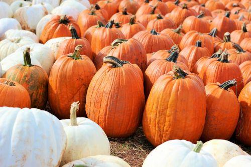 moliūgai,Halloween,Spalio mėn,oranžinė,balta,ruduo,stiebas,šventė,daržovių,derlius,pleistras,padėka,sezonas,maistas,moliūgo pleistras,sveikas