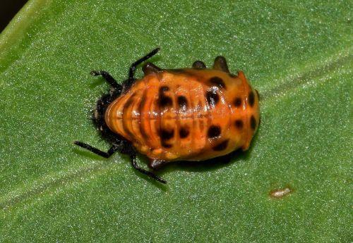 pupa,vabzdžių pupelė,daugiaspalvis azijietiškas vabalas,klaida,maža klaida,padaras,vabzdys,vabzdžiai,gyvūnas,gamta,fauna,metamorfozė,dami vabalas,Boružė,vabalas,lapai,biologija,entomologija,nariuotakojų