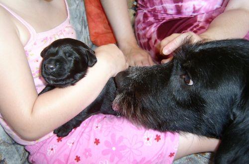 šuniukas,šuo mama,šuo,kalė,saldus,apsauga,hibridas,juoda,naminis gyvūnėlis,Gerai,Draugystė,snukis,mielas,Uždaryti,rudos akys,galva,dėmesio,hundeportrait