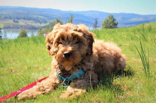 šuniukas,labradoodle,australian labradoodle,mielas,Kolumbijos upės tarpeklis,Gorge,šuo,naminis gyvūnėlis