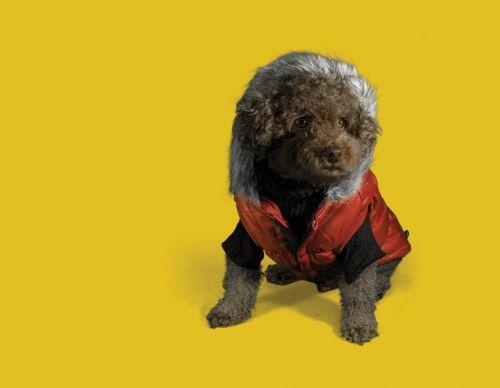 šuniukas,šuo,pudelis,rudas šuo,šuniuko mados,šuo mados,šuo su striuke
