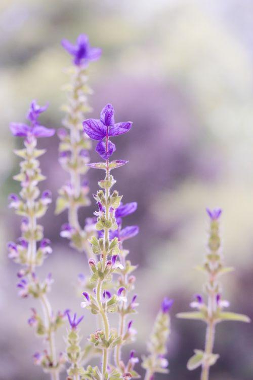 violetinė,pastelė,minkštas,gamta,gėlė,šalavijas,minkštas dėmesys,levanda