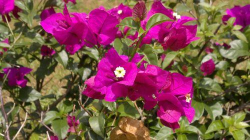 violetinė,gėlės,purpurinės gėlės,ceilonas,peradeniya,kandy,Šri Lanka
