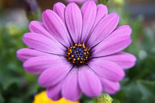 violetinė,viršukalnės krepšys,gėlės,purpurinė gėlė,žiedas,žydėti,lapai,gamta,makro