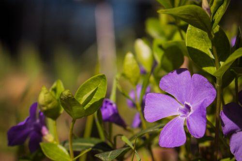 violetinė,gėlė,žalias,makro,žiedas,žydėti,purpurinė gėlė,gamta,augalas,Uždaryti,gėlė violetinė,tuti,raudona violetinė,violetinė,šviesus,anemonis,vasara,aquilegia,pavasaris,orchidėjos,tamsiai violetinė,vinjetė,filigranas,Kolumbinas