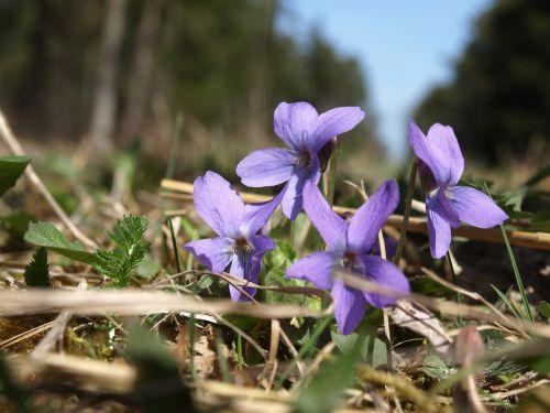 violetinė,miško paklotė,miškas,pavasaris,violetinė,gėlė,augti augti