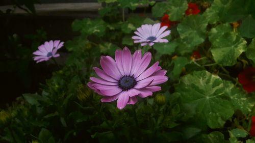 violetinė,purpurinė gėlė,purpurinės gėlės,krasseblad,lapai,sodinti,sodinukai,augalai,gėlė,gėlės,žydėjimas,pistils,gražus,sodas,nuolaida,vasara,vasaros gėlės,vasaros gėlė,vasaros laikas