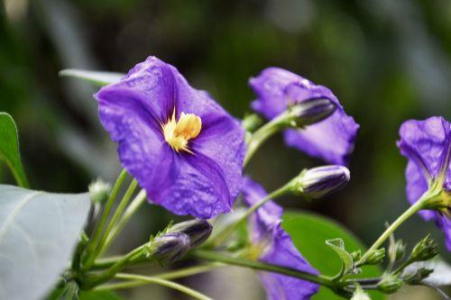 violetinė,žiedas,žydėti,gėlė,gamta,purpurinė gėlė,vasara