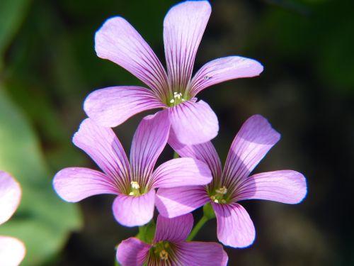 violetinė,gėlės,purpurinė gėlė,augalas,gėlė violetinė,Uždaryti,makro,tamsiai violetinė,laukinė gėlė,žiedas,žydėti,gamta