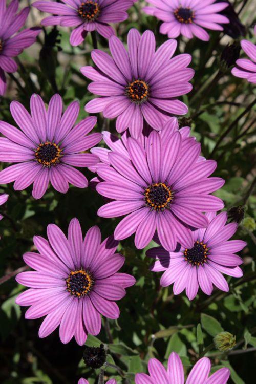 Daisy, aster, asteraceae, žydėti, žiedas, gėlė, gamta, violetinė, violetinės african Daisy žydi