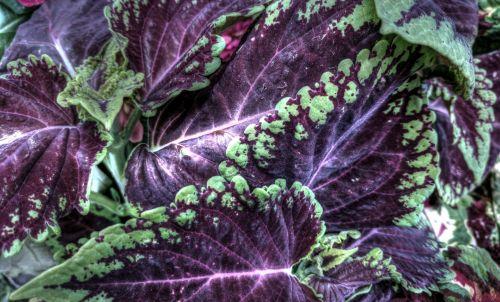 augalas, augalai, lapinės, žalias, violetinė, sodas, sodininkystė, lauke, gamta, raudonos ir žalios lapinės augalas