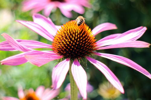 violetinė voveraitė,echinacea purpurea,saulės skrybėlė,raudona švytėlydžio violetinė žievė,rožinis,violetinė,žiedas,žydėti,dekoratyvinis augalas,gėlių krepšelis,laukinė gėlė,gėlė,flora
