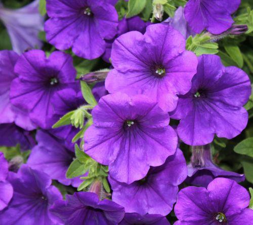 purpurinė gėlė,gėlė,žiedas,žydėti,violetinė,Uždaryti,šviesus,augalas,gamta,gėlė violetinė,maža gėlė,vasara