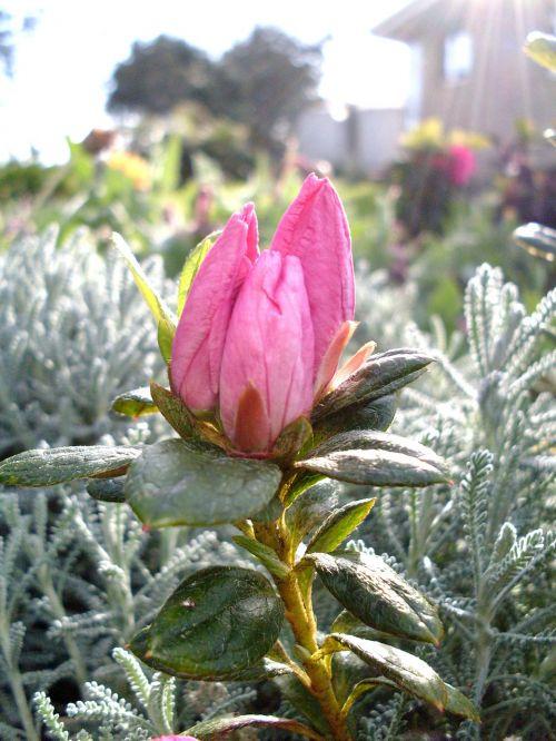 purpurinė gėlė,azalijos pumpurai,pumpurai,gėlės,violetinė,budas,gėlė,gėlių pumpurai,pavasaris,sodas,augalai