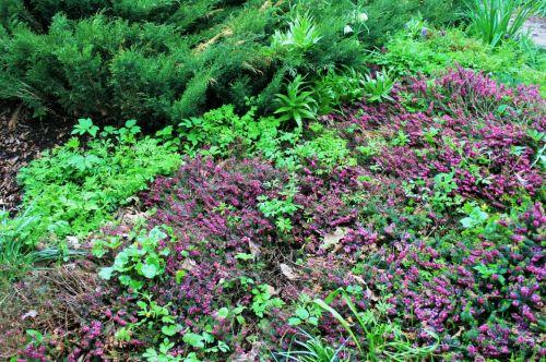 augalai, krūmai, gėlės, violetinė, sodas, violetinės gėlių krūmai
