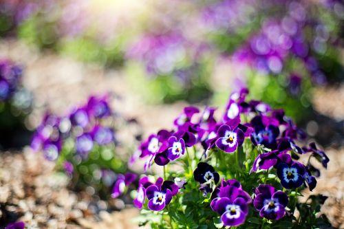 purpurinės gėlės,gėlės,pavasaris,violetinė,gamta,gėlių,natūralus,sodas,vasara,žydi,žydi,žydi