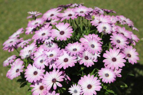 purpurinės gėlės, violetinės gėlės, rožinės gėlės, violetinė gėlė, gamta, gėlė, laukiniai, augalai, laukinės gėlės, purpurinė gėlė, Daisy, rožės