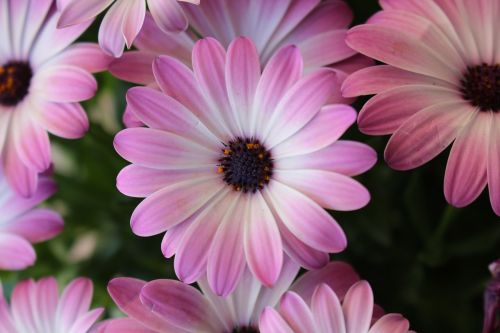 purpurinės gėlės, violetinės gėlės, rožinės gėlės, violetinė gėlė, gamta, gėlė, laukiniai, augalai, laukinės gėlės, purpurinė gėlė, priartinti, makro, Daisy, rosa
