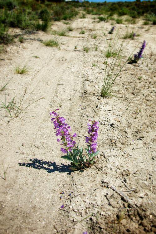 dykuma, purvas, purvo & nbsp, takas, purvinas & nbsp, kelias, purvo & nbsp, takelis, gėlė, didelis & nbsp, dykumas, idaho, gyvenimas, gamta, kelias, augalas, violetinė, kelias, trasa, vakaruose, laukiniai, wildflower, violetinė laukinių gėlių idėja