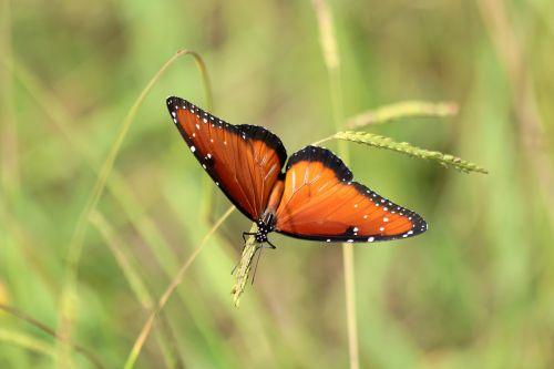 gamta, laukinė gamta, gyvūnai, vabzdžiai, drugelis, karalienė, karalienė & nbsp, drugelis, nugaros ir nbsp, peržiūra, sparnai & nbsp, plitimą, sėdi, laukinė & nbsp, žolė, žalias & nbsp, fonas, sparnai, dėmės, juodas & nbsp, oranžinis & nbsp, drugelis, karalienės drugelis arti