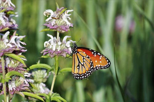 gamta, laukinė gamta, gyvūnai, vabzdžiai, drugeliai, karalienė & nbsp, drugelis, danaus & nbsp, gilippus, oranžinė & nbsp, juoda & nbsp, drugelis, drugelis & nbsp, sparnai, sipping, gerti, nektaras, gėlės, violetinės & nbsp, gėlės, laukinės vasaros spalvos, violetinės spalvos & nbsp, laukinės spalvos, žirgais & nbsp, laukinės spalvos, Monarda, karalienės drugelis ant violetinės laukinės spalvos