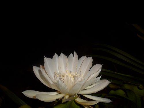 nakties karalienė,balta gėlė,kaktusas,pitahaya,naktis